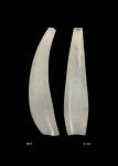 Gadila oportuna - holotype