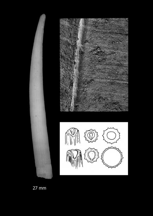 Dentalium malekulaensis Scarabino, 2008