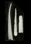 Heteroschismoides subterfissus (Jeffreys, 1877)