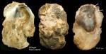 Neopycnodonte zibrowii