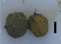 Cinachyrella arabica