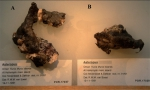 Asteropus moolenbeeki
