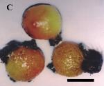 Tethya omanensis