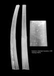 Episiphon virginieae Scarabino, 1995