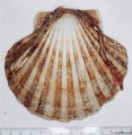Pecten maximus (Linnaeus, 1758)