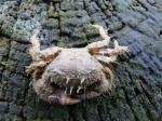 ruig krabbetje