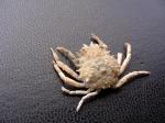 Grote spinkrab