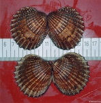 Acanthocardia echinata (Linnaeus, 1758) 