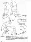 Pseudodiaptomus malayalus