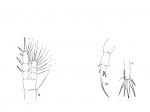Pseudodiaptomus binghami female