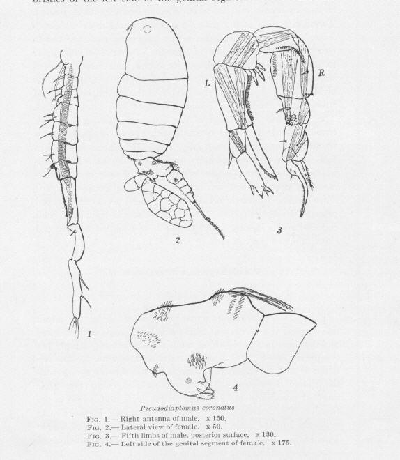 Pseudodiaptomus coronatus male