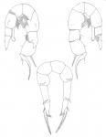 culebrensis P5