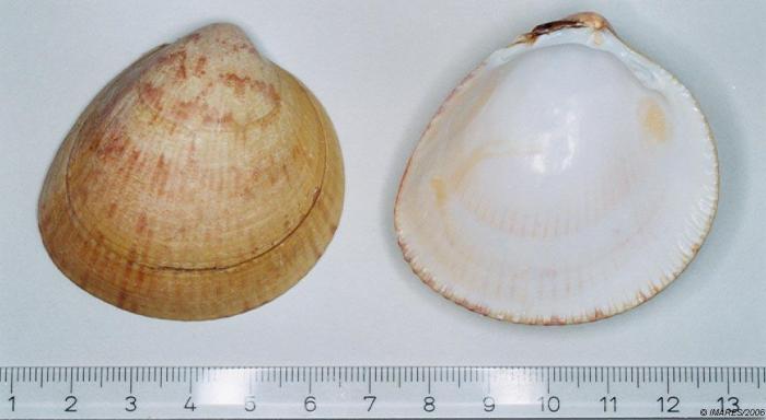 Laevicardium crassum (Gmelin, 1791)
