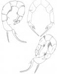 Pseudodiaptomus marshi P5