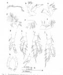 Pseudodiaptomus nihonkaiensis female