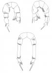 Pseudodiaptomus panamensis P5