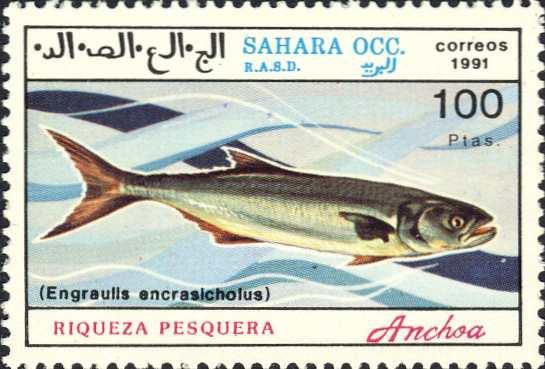 Engraulis encrasicholoides