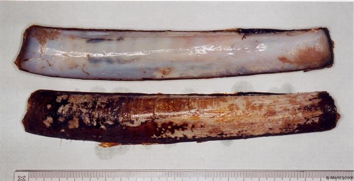 Ensis siliqua (Linnaeus, 1758)