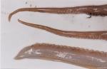 Eledone cirrhosa (Lamarck, 1798)