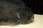 Lumpfish - Cyclopterus lumpus