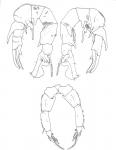 Pseudodiaptomus trihamatus P5