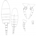 Pseudodiaptomus philippinensis body