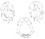 Pseudodiaptomus philippinensis Pr