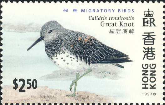 Calidris tenuirostris