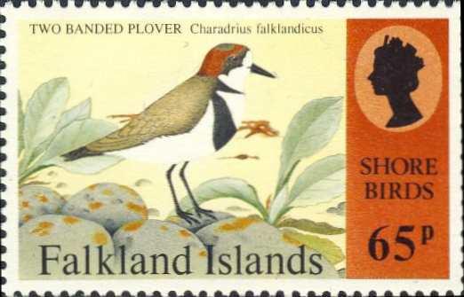 Charadrius falklandicus