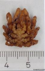 Pycnogonum litorale (Strom, 1762), dorsal