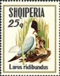 Larus ridibundus