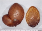 Polyclinidae sp.
