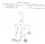 Pseudodiaptomus serricaudatus
