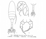 Pseudodiaptomus spatulatus
