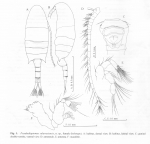 Pseudodiaptomus sulawesiensis