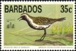 Pluvialis dominica