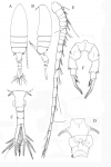 Pseudodiaptomus terazakii female