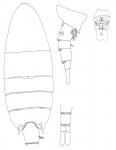 Pseudodiaptomus trispinosus female body