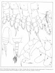 Pseudodiaptomus binghami male