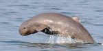 Irrawaddy dolphin in the Philippines