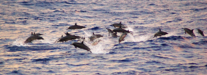 School of spinner dolphins (whitebelly form) in the eastern tropical Pacific