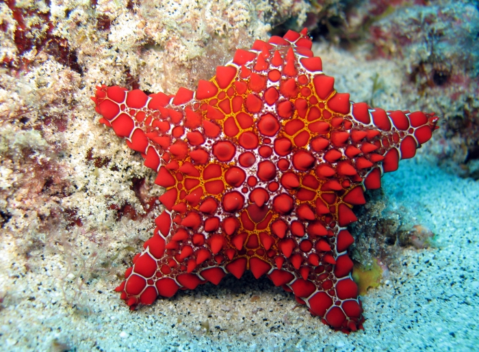 Goniaster tessellatus from the Cape Verde Islands