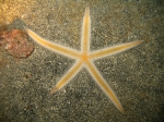 Luidia atlantidea from the Cape Verde Islands