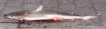 Galeorhinus galeus (Linnaeus, 1758) 