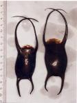 Leucoraja naevus (Müller & Henle, 1841)