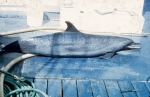 Pantropical spotted dolphin (Stenella attenuata) bycaught in tuna purse seine fishery.