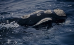 Southern right whale (Eubalaena australis)
