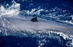 Bryde's whale (Balaenoptera edeni)