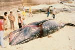 Gray whale (Eschrichtius robustus) entangled in gill net