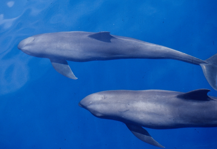 Melon-headed whales (Peponocephala electra) in the Philippines